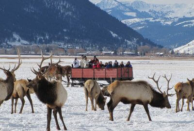 vacationers in winter in a horse drawn sleigh watching a herd of elk