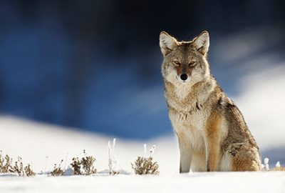 coyote sitting in snow