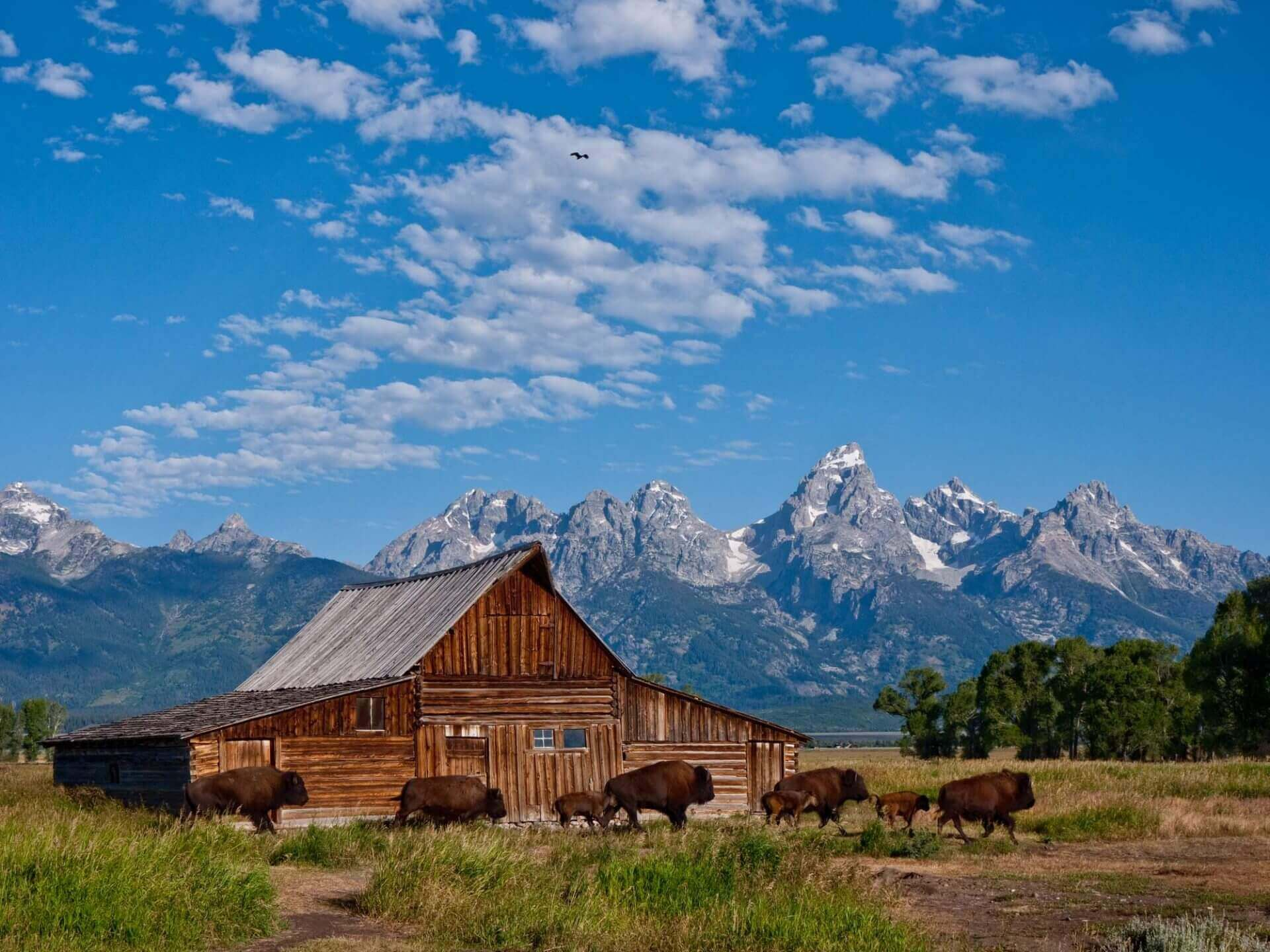 old barn in summertime with mountains in background and buffalo crossing in front