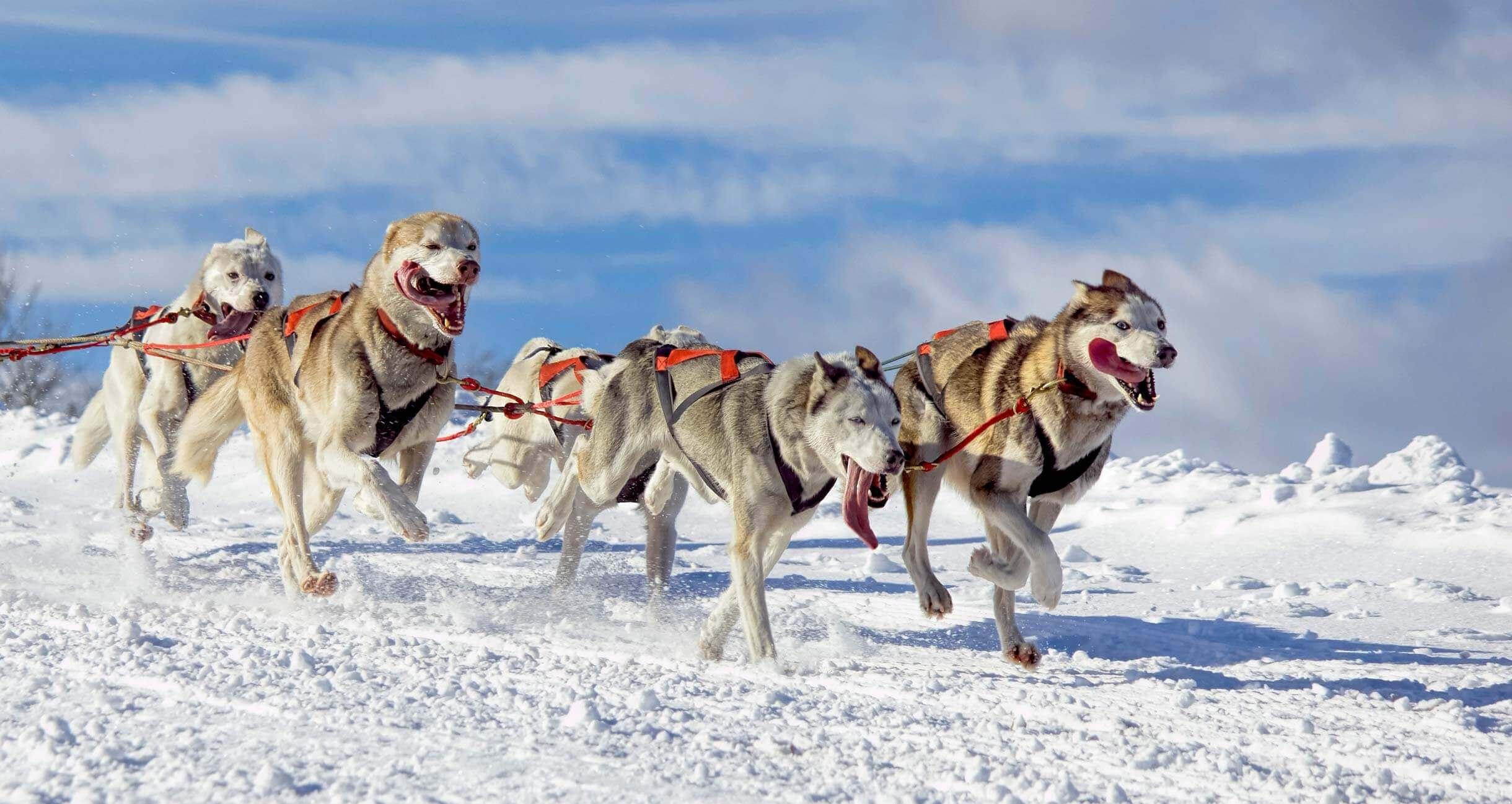 dog sled team running through snow