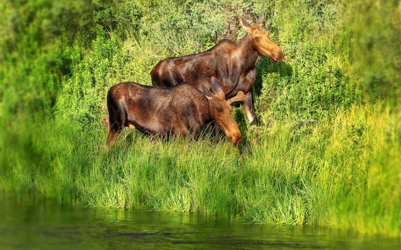 two young moose walking in tall grass by river