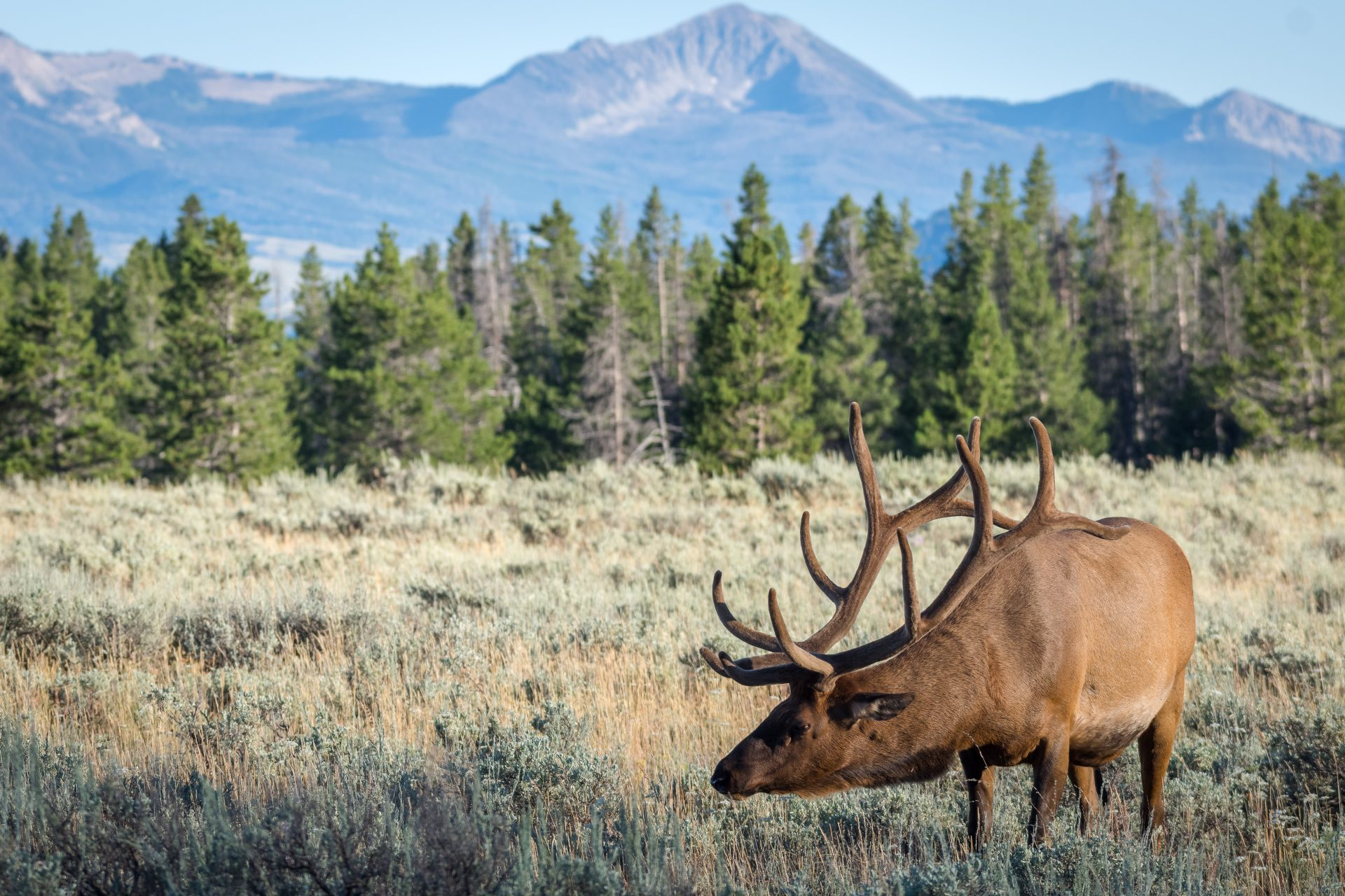 large elk in field with pine trees and mountains in background