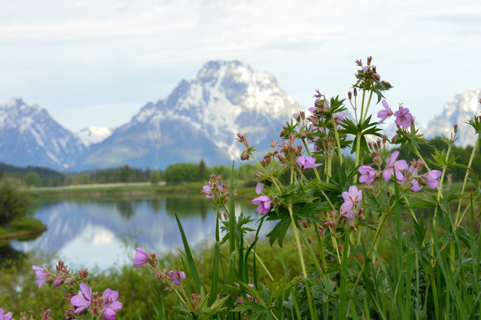 close up of pink wildflowers with mountains in background